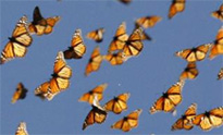 butterflies-small 2
